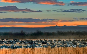 Snow-geese-and-sandhill-cranes-flock-in-the-Bosque-del-Apache-National-Wildlife-Refuge-near-Socorro-New-Mexico